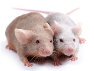 Mouse gives birth to pups using 3-d printed ovary
